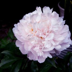 芍药牡丹,1粒种子就能种出来,开花比脸大!