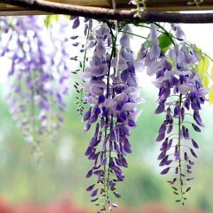 学会这些技巧紫藤花开满院不是事!