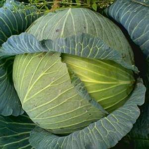 """病害危害  甘蓝黑腐病是甘蓝类蔬菜主要的病害之一。初期可引起叶斑和黑脉,直接影响植株正常的光合作用;后期可导致植株萎蔫或枯死,严重影响了蔬菜的产量和品质,造成减产减收。   病害症状  主要危害叶片。叶斑多从叶缘开始,由外向内扩展,呈楔状(""""V""""形)至不定形斑,黄色、黄褐色至红褐色,斑外围具有明显或不明显黄晕,斑面网状脉呈褐色至紫褐色病变。病征表现为薄层菌脓,一般不明显,潮湿时触之具质粘感。切取病组织小块镜检,则可见切口涌出大量菌脓。  病害病原  病原为细菌,称野油菜黄单胞杆状细菌野油菜黑腐致病型〔Xanthomonas campestris pv.campestris(Pam.)Dowson〕。病原与菜心、芥兰、包心椰菜黑腐病相同。   病害发生规律  病菌在种子内或病残体上越冬。播种带病的种子,病菌从幼苗子叶或真叶的叶缘水孔侵入,有时因幼苗受侵不能出苗,有时出土不久后死亡。病菌随病残体遗留在田间也是重要的初次侵染源。成株期叶片受侵染时,病菌可从叶缘的水孔或伤口侵入,病菌很快进入维管束,并随之上下扩展,造成系统侵染,致使茎部和根部的维管束变黑,引起植株萎蔫,直至枯死,剖开球茎,可见维管束全部变黑或腐烂,但不臭,干燥条件下球茎黑心或干腐状,别于软腐博  在留种株上,病菌可从果柄维管束进入种荚导致种子表面带菌,或从种脐侵入致种皮带菌。病菌生长的最适温度为25—30℃,高温多雨、虫害严重及连作地往往发病重。    病害防治方法  (1)因地制宜选育和种植抗病品种。    (2)加强田间管理。    采用高畦种植,合理密植;科学肥水,培育壮苗;农事操作,注意减少伤口;田间发现病株及时拔除,收获后清除田间病残体,减少来年菌源。    (3)种子处理。    播前精选种子,并进行种子消毒,可选用45%代森铵水剂300倍液浸种20分钟,水洗后晾干播种;或用种子重量0.4%的50%DT、DTM可湿粉拌种,或用20%喹菌酮l000倍液浸种20分钟,水洗晾干播种;或用77%可杀得悬浮剂800-l000倍液浸种20分钟,水洗晾干播种。应特别注意,菜心白菜种子不宜用链霉素、新植霉素浸种,以免造成药害。    (4)药剂防治。    发病初期可喷施20%喹菌酮可湿粉l000倍液,或45%代森铵水剂1000倍液,或77%可杀得悬浮剂800倍液,或47%加瑞农可湿性粉剂800倍液,或25%噻枯唑可湿性粉剂300倍液,或12%绿乳铜乳油800倍液,或50%DT或DTM可湿粉1000倍液喷雾,防治2-3次,隔7-10天1次,交替施用,喷匀喷足。"""
