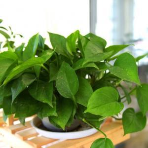 绿萝扎根绳子,叶子长得比脸大,10天窜1米!