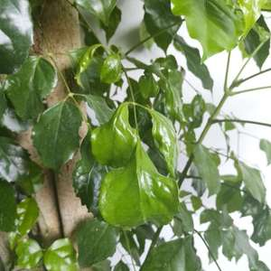 发财树新长的叶子怎么皱巴巴的?
