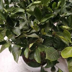 自家的栀子花,移栽一个月,生根水,营养液也加了,土壤酸碱度5左右。这种情况近一周,请问是什么原因呢?