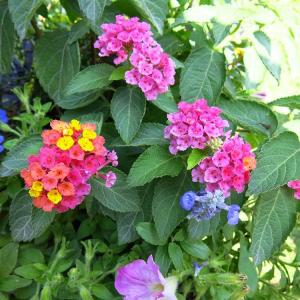 养殖五色梅,学会这几点,花开不断,蹭蹭蹭的往上长!