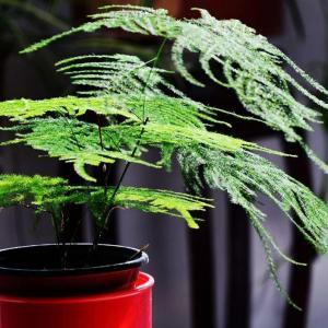 文竹叶子发黄学会这些小技巧九成可以变绿!