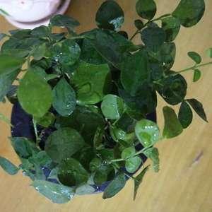 从京东买的九里香,送的懒人盆,直接就栽里面了,这已经20多天了,张的不是很好,有很多叶子干了,怎么办?