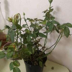 首先这是什么花,买的时候说是玫瑰,一个星期了,土摸着是湿的,浇了两次水,但是叶子全干了,花也掉的掉,焉的焉。好心的花友帮个忙吧