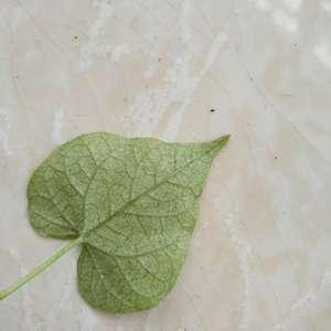 牵牛花叶子上长了好多虫卵,还有虫虫爬。请问大家这是什么虫子?要买什么药呀?