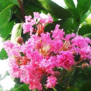 紫微花树插植方法