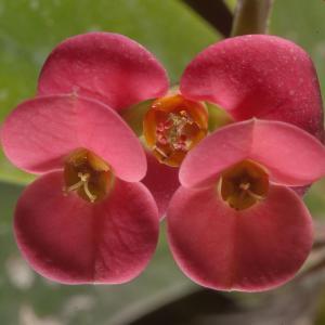 Succulent maintenance: Euphorbia milii