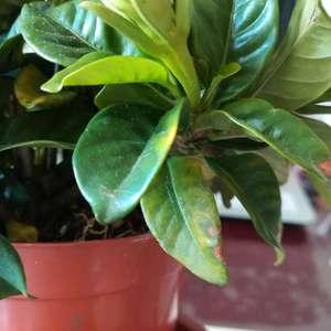栀子花下面的叶子变黄了 该怎么办?做到了通风浇水晒太阳😭