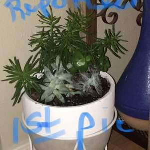 My plant looks awful, I repotted the whole arrangement and the tall (used to be beautiful), green spiny plant is dying and I don't know what I did wrong.  Please help me
