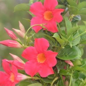 一个花盆里种几棵飘香藤好