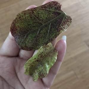 琴叶榕新长出的叶子,怎么都是斑点?求助,这是什么问题,怎么治呢啊?