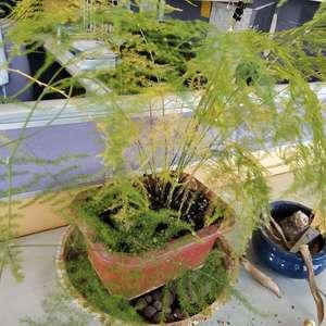 养了一年的文竹一直在变黄,是什么原因?不缺水