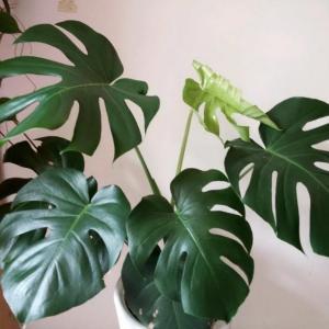 龟背竹的种植价值