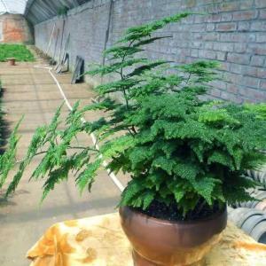 怎么能让文竹发新芽