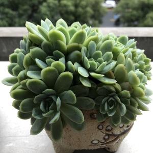 冰梅群两(29.9)多肉植物