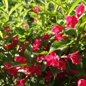 How to Care for Weigela in the Winter