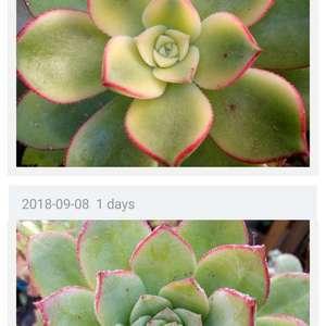 are these two aeonium tricolor / kiwi?
