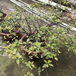 求助~这是几年前5元买的一颗栀子花,当时很小的一颗,种盆里也没怎么管,它自己长成了这么大,但看着不太健康,枝干都发白,我不太懂花草,想知道该怎么打理一下。
