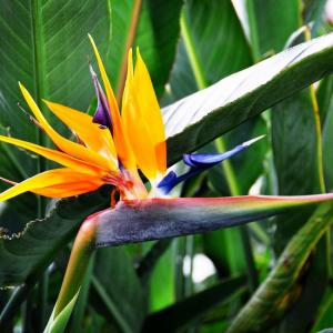 How to Grow and Care for Strelitzia Plant (Bird of Paradise)