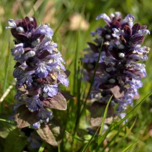How to Grow and Care for Bugleweed