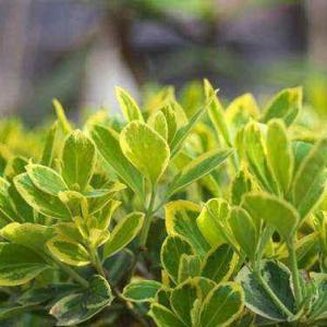 黄杨的病虫害防治方法