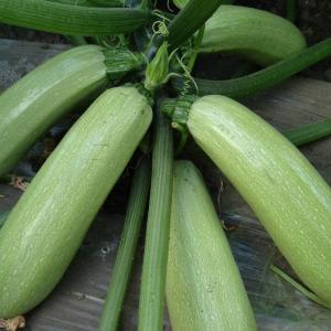 Zucchini is a garden crop that grows easily and abundantly for most gardeners. Growing zucchini on a garden trellis is an effective way of growing more in a small space because less ground space is used. It also is easier to watch for disease and pests, because the vines are up off the ground. In addition, harvesting zucchini growing on trellises is simple because the zucchinis are readily found growing along the sides. Learn how easy it is to grow zucchini on a trellis.   Step 1  To grow your zucchini plants, choose a location that is on the northern side of your growing area. This will prevent the trellis from shading any of your other plants.  Step 2  Pound the side trellis posts at least 2 feet into the ground to make sure the trellis will withstand the weight of the zucchini plants and blowing wind.  Step 3  Plant the zucchini seeds at the base of the trellis approximately 1/2 inch under the soil. Space the seeds so there are two seeds about every 3 feet along the base of the trellis.  Step 4  Keep the zucchini seeds evenly moist while they are germinating.   Step 5  Watch the seedlings as they sprout and grow taller. As soon as they start touching the wire mesh of the trellis, begin encouraging them to grow in, out and around the wire mesh of the trellis. You can lightly tie the stalks to the wire mesh to train them, but this should not be necessary. The vines will naturally want to grow up the trellis.  Step 6  Monitor the plant as it begins to flower and zucchinis begin to grow. Keep the plants well watered.  Step 7  For best flavor, pick zucchinis before they grow to be 8 inches long. Zucchinis that grow on a trellis tend to be prolific, and you will need to monitor them daily to make sure they do not grow too large.