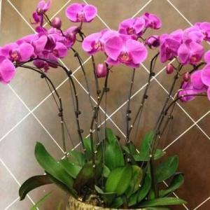 蝴蝶兰的家庭养殖方法