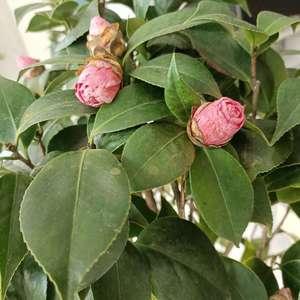哪位大神指导一下这是怎么回事,买回来的茶花不开花,花苞掉落