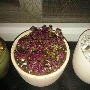 #紫米粒  小米粒