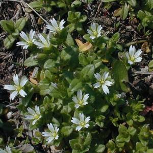 Small Mouse-Eared Chickweed
