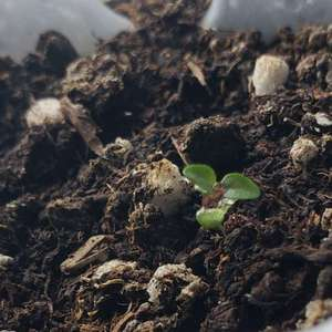 胡椒薄荷播种了很多,只活了这一根独苗,最开始自己育苗流程失误,再加上不太在意,现在只能寄希望于这个小苗了