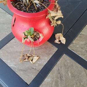 Strawberry plant in small container nearly dead