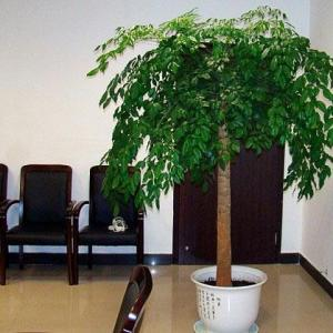 幸福树换盆方法和注意事项