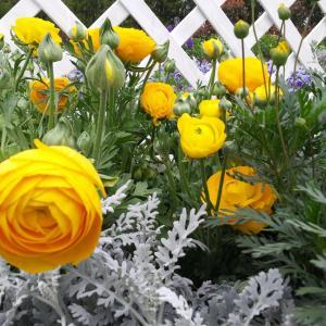 花毛茛种子怎么种植