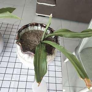 这是巢蕨吗?我用的就是普通的泥土,能不能活,叶子尖端有点发黄