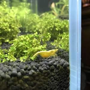 一只小虾抱卵啦!真是又惊又喜呢!