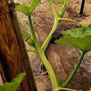 We have all seen pictures of award-winning giant pumpkins that can tip the scales at more than 1000 pounds.  How do they grow such giant pumpkins?  Whether you are entering a pumpkin growing competition or simply want to amaze your friends and neighbors on Halloween with your gigantic Jack-O-Lantern, growing giant pumpkins can be a fun and rewarding hobby.   Prepare the soil:  Growing giant pumpkins requires top-quality soil. Most growers start preparing the soil in the fall by mulching with leaves, compost and manure. Check the PH levels using a PH tester that can be bought at any garden centre. Optimal soil PH for growing giant pumpkins is between 6.5 and 6.8, but it should be no higher than 7.0. Adjust the PH accordingly by adding lime to raise it, or sulfur to lower it.  In the spring, turn the soil and test the PH again to make sure it is within acceptable levels and add a small amount of granular style timed-release balanced fertilizer. Choose a fertilizer that puts emphasis on phosphorus; such as 15-30-15 or 10-52-10 in order to ease transplant shock in seedlings. You will need a minimum of 400 square feet per pumpkin plant, so you will need to prepare your space according to how many plants you intend to grow.   Start the seeds:  Giant pumpkins do not grow from just any pumpkin seeds. There are many varieties of pumpkin seeds, and you will have to choose one that is specifically bred for producing giant pumpkins. You can start by looking into the Atlantic giant pumpkin seeds. Start seeds indoors in peat pots early in May. There is no point in starting them too soon because pumpkin seeds germinate very quickly and the plants will need to be planted before they get too big.  Planting them early before the weather is warm enough will shock them and even kill them because pumpkin seedlings rely on warm soil as well as warm weather for growth.   Transplant:  Transplant your seedlings once they are well established with true leaves and strong roots. You can tell w