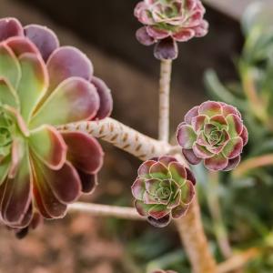 How to Grow Aeoniums