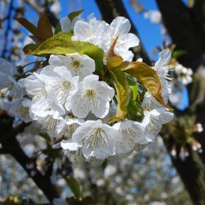 8 Trees with Stunning Blossom in Spring