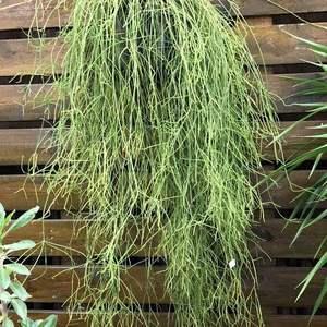这个是什么植物哦  有点像丝苇  但是这个比较细
