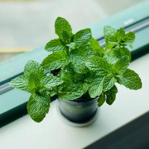 Let's Grow Mint Indoors!