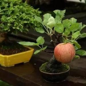 盆栽苹果树苗种植技巧