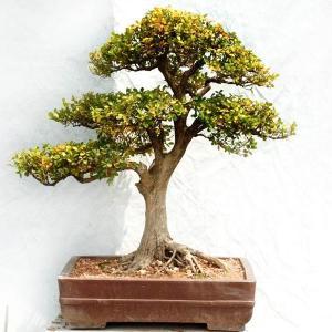黄杨盆景的养殖方法及注意事项