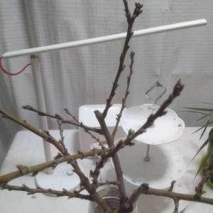 今天去公园捡的树枝回来,不知泡水瓶里还能开花吗?上面有好多小芽,也不知道是什么树,有人知道吗?