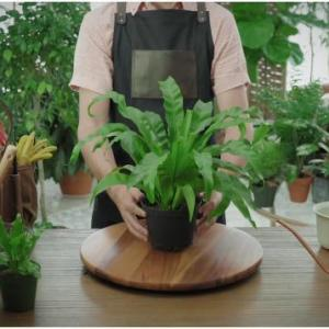 How to Grow and Care for Bird's Nest Ferns
