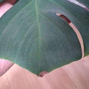 龟背竹长的缓慢,半年多才长一个叶,还叶尖变枯,求教各位大师