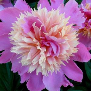 牡丹花在南方种植好吗