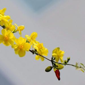 迎春花怎么种植